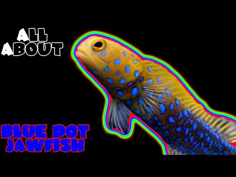 All About The Blue Dot Jawfish Or Blue Spotted Jawfish