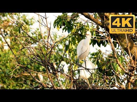 Relaxing Bird Video in 4K of Young Herons in Bali