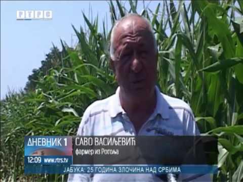 Zlatica napala kukuruz na parcelama u Gradišci, šteta već evidentna
