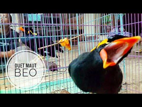 Steady Parrot's Death Death