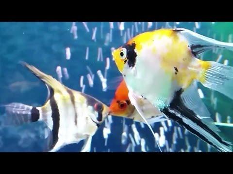 Angelfish Aggression - Angelfish Breeding Pair Fighting Off Intruders