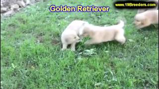 Golden Retriever, Puppies, For, Sale, In, South Bend, Indiana, County, In, Allen, Hamilton, St  Jose