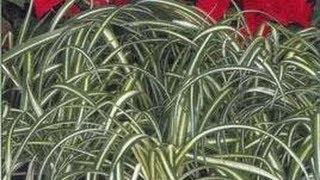 Plantes d'appartement - Kentia Dieffenbacchia Felce Asplenium Ficus