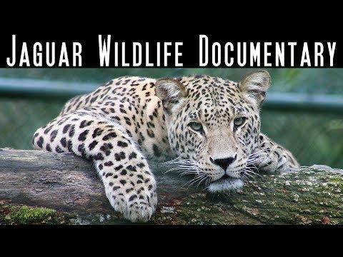 The Jaguar - Big Cats - National Geographic Wild - Wildlife Documentary - Best Documentary