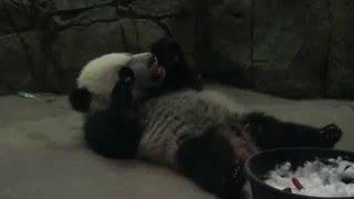 Giant Panda Cub Bei Bei Enjoying Treats