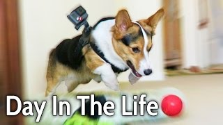 A DAY IN THE LIFE of a CORGI PUPPY DOG - Extended Cut!