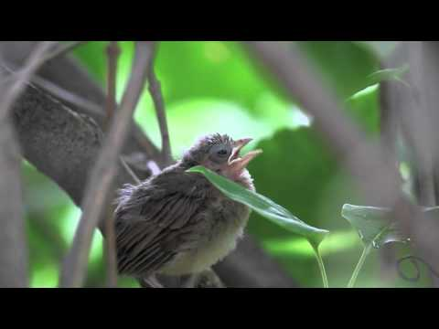 Chirping Northern Cardinal fledgling