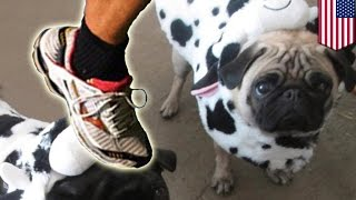 Przemoc wobec zwierząt? Biegacz zabija mopsa jednym kopnięciem