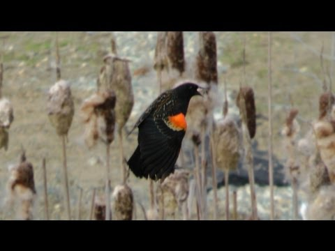 Red Winged Black Bird Calling and Whistling