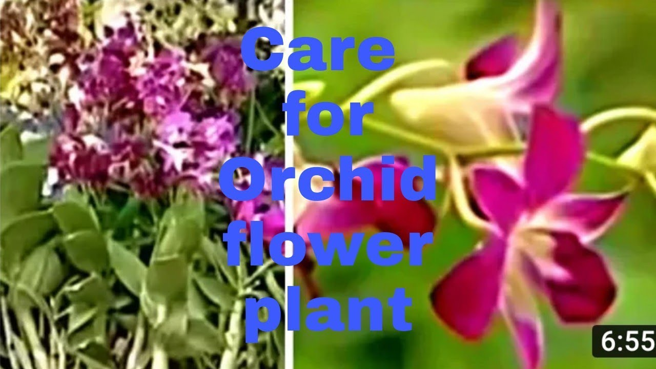 How to care for orchid flower plant hindi youtube how to care for orchid flower plant hindi izmirmasajfo