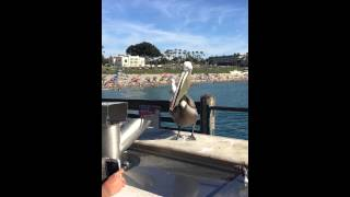 Pelican photo bombed by seagull