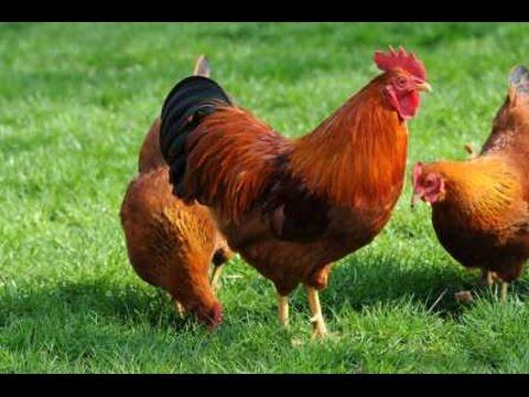 (Doku) Verrückte Hühner (HD)