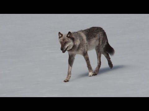 Yellowstone Devil Dog (Full Documentary)