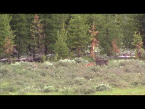 Black wolf vs. coyotes in Yellowstone