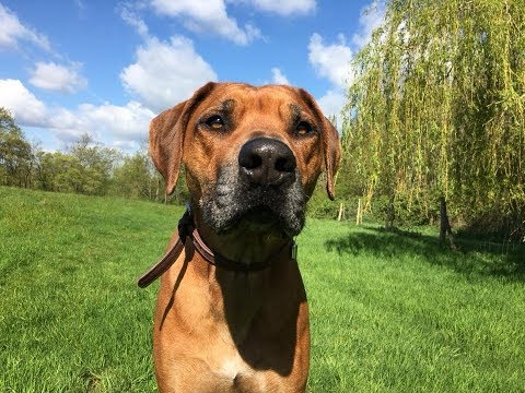 Bomani - Rhodesian Ridgeback - 5 Weeks Residential Dog Training