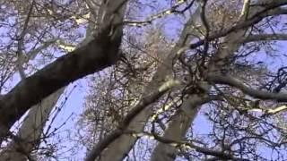Pohon Menangis Darah Setiap 10 Muharram
