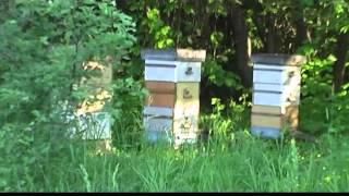 Как остановить роение пчел (roy otvodok)