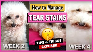 HOW TO REMOVE TEAR STAINING ON MY TOY POODLE DOGS  Tear Stain Problems | The Poodle Mom