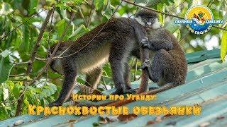 Истории про Уганду: Краснохвостые обезьянки