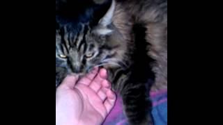 My Big Maine Coon Cat Arthur Attacks Me He Was Feral As A Kitten And Never Really Got Tame.