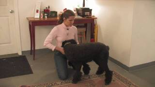 Dog Breeds : How To Select A Standard Poodle
