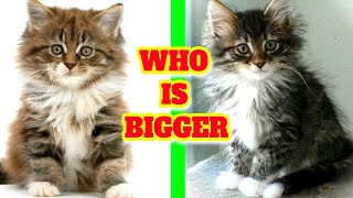 Which is bigger Maine Coon or Norwegian Forest cat? Are Norwegian Forest Cats friendly?