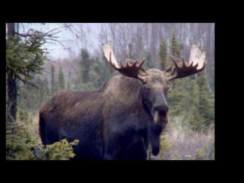 Image result for big moose