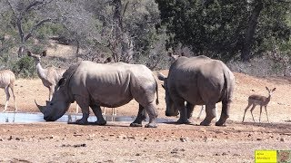 World Rhino Day 2019 -  Rhino Breeding Pair In Harmony With Kudu And Impala