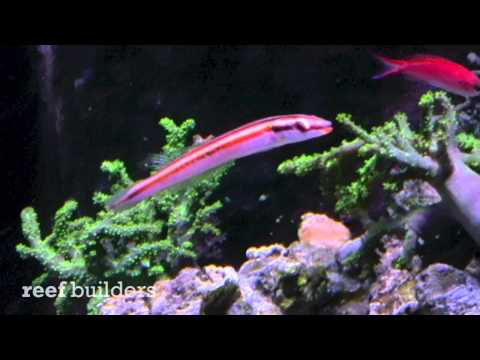 Candy Cane Hogfish