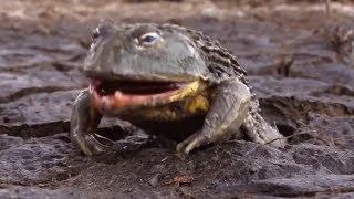 Download Лягушки монстры, огромные и очень прожорливые! Mp3 and Videos