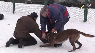 Фокс кусачка, границы навыка удержанием палки, собака для охраны