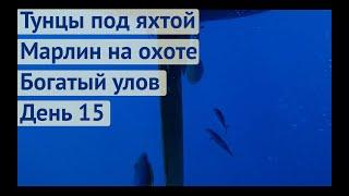 Тунцы под яхтои Марлин на охоте Пои мали Махи Махи Трансатлантика день 15