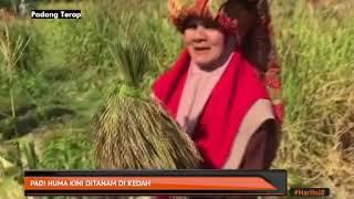 Padi Huma Kini Ditanam Di Kedah