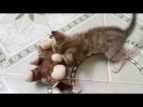 ✔ Awesome Kitten wrestling🐈. Chocolate Chips vs Monkey Boo.🌟🌟🌟✔