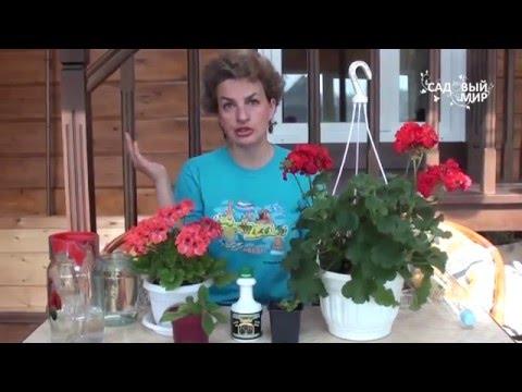 """Как выращивать комнатную герань. Сайт """"Садовый мир"""""""