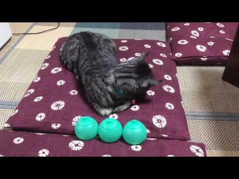 [猫メモリー(77)]玩具と遊ぶ猫♪cat playing