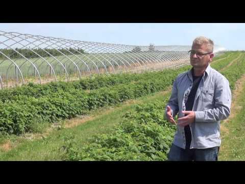 Wirus RBDV na plantacjach malin