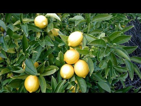 🍋 Как растут лимоны и апельсины?!🍋 Деревья нашего двора  Антакья_Турция
