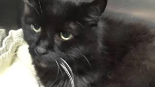 Cat Vestibular Disease: Dancing Eyes