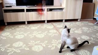Как кот Оскар в дразнилку играл, напоминая об Эстель! Тайские кошки  - это чудо! Funny Cats