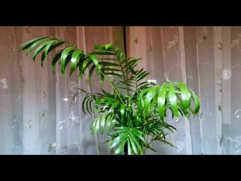 Пальма Арека-1. Похожа, или – это Хамедорея? Молодые побеги, пересадка в грунт для Пальмовых