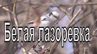 Князек. Белая лазоревка. (Cyanistes Cyanus)Птицы Сибири.