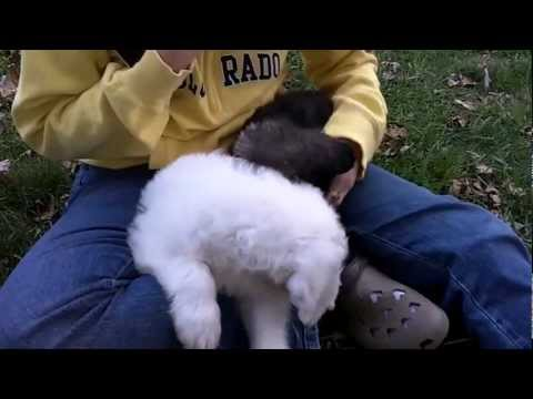 Ellie and Mowgli Sheepadoodle Puppies
