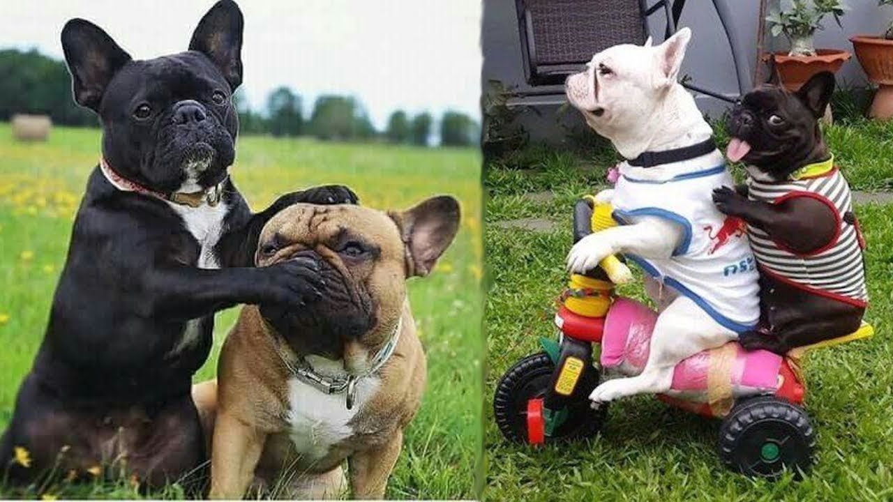 Funny and Cute French Bulldog Puppies Compilation #4 ...
