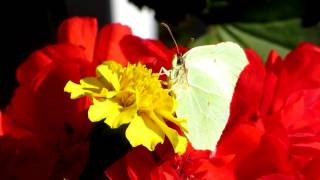 Common Brimstone on red Geranium and yellow Tagetes