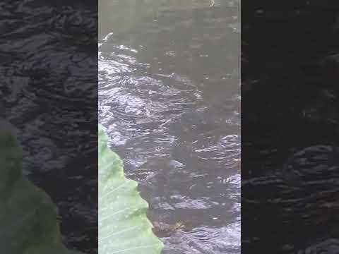 Ikan gurame bobot 1 kg di kolam belakang rumah