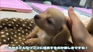 マルワン武蔵浦和店☆チワックス(さいたま市のペットショップ)