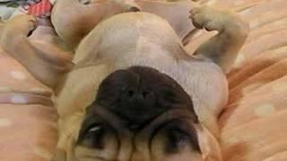 いきびをかきながら寝ているパグ(pug)の伝助くんです.