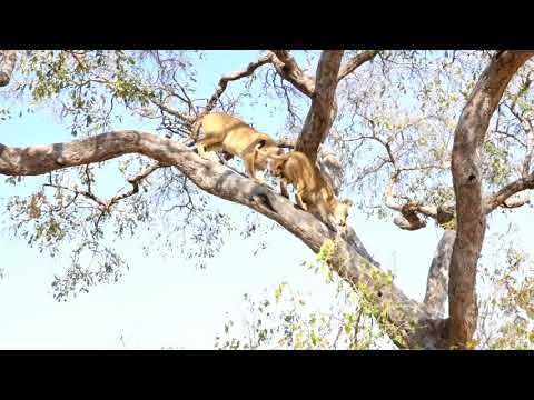 Mother lion pushes daughter down from tree