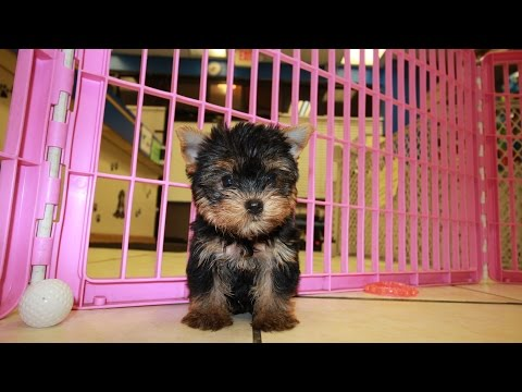 TEACUP YORKIE PUPPIES FOR SALE GEORGIA LOCAL BREEDERS